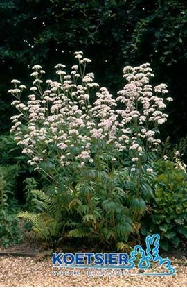 Picture of Valeriana  officinalis