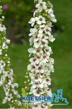 Picture of Verbascum  chaixii