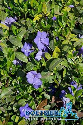 Picture of Vinca  minor