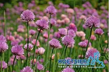 Picture of Allium schoenoprasum