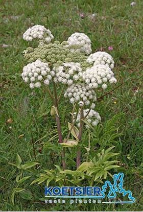 Picture of Angelica archangelica