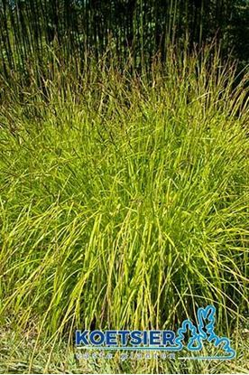 Picture of Carex  elata
