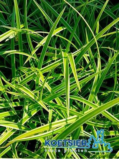 Picture of Carex  morrowii  'Ice Dance'