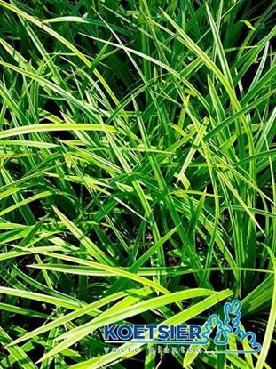 Picture of Carex  morrowii