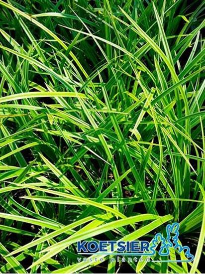 Picture of Carex  morrowii  'Variegata'