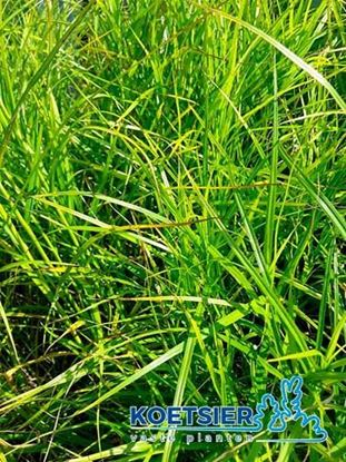 Picture of Carex  muskingumensis