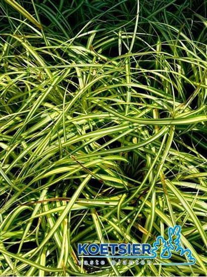 Picture of Carex  oshimensis 'Evergold'