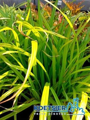 Picture of Carex  pendula