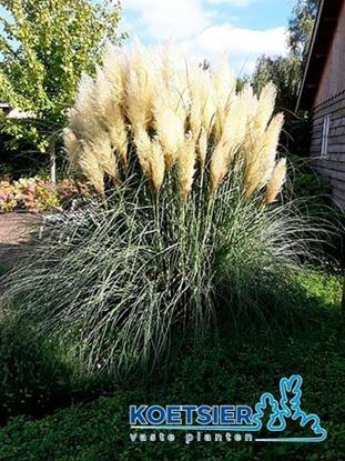 Picture of Cortaderia  selloana