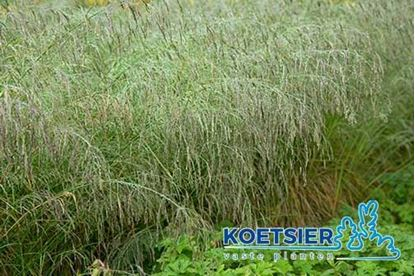 Picture of Deschampsia cespitosa