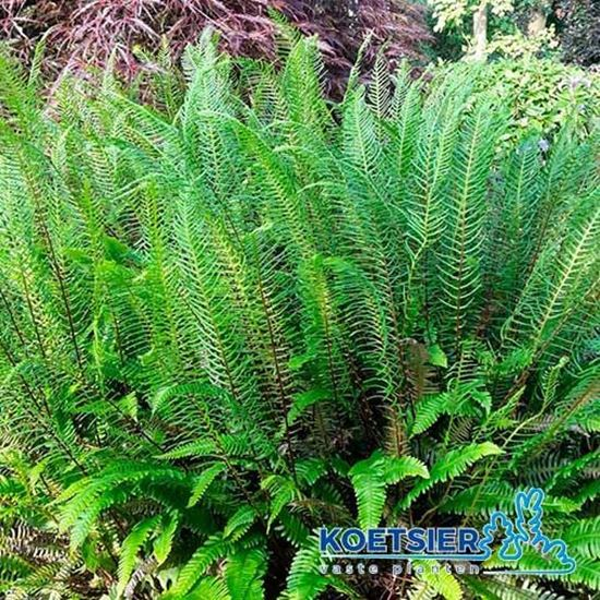 Picture of Blechnum  spicant