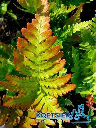 Picture of Dryopteris  erythrosora