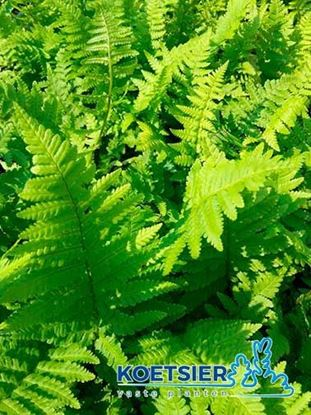 Picture of Dryopteris  filix-mas