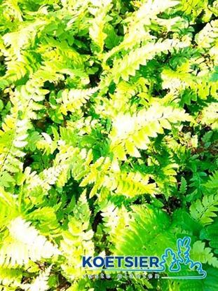 Picture of Polystichum  aculeatum