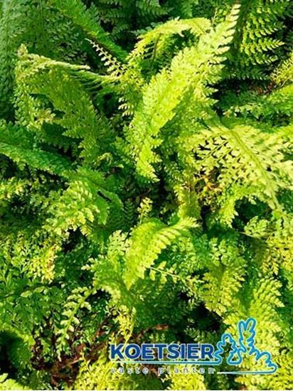 Picture of Polystichum  setiferum  'Proliferum'