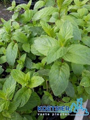 Picture of Mentha piperita