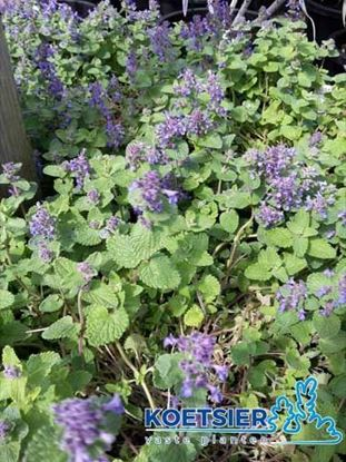 Picture of Nepeta faassenii