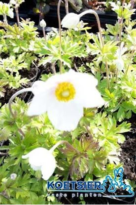 Picture of Anemone  sylvestris