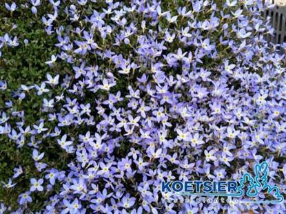 Picture of Houstonia  caerulea