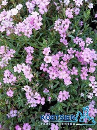 Picture of Gypsophila  repens