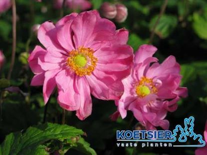 Picture of Anemone